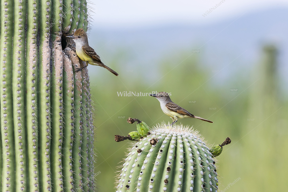 A male and female Brown-crested Flycatcher pair (Myiarchus tyrannulus) bringing food to newly hatched chicks in a nest in a Saguaro cactus (Arizona)