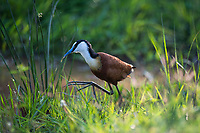 African Jacana, Marataba Private Game Reserve, Limpopo, South Africa