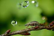 Glaucous leaf weevil (Phyllobius glaucus) in rain. Biosphere Reserve 'Niedersächsische Elbtalaue' (Lower Saxonian Elbe Valley), Germany | Gespornter Blattrüssler (Phyllobius glaucus)