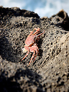 The deposited shell of a crab lies on the rocks on one of the many jagged bays on Maui.