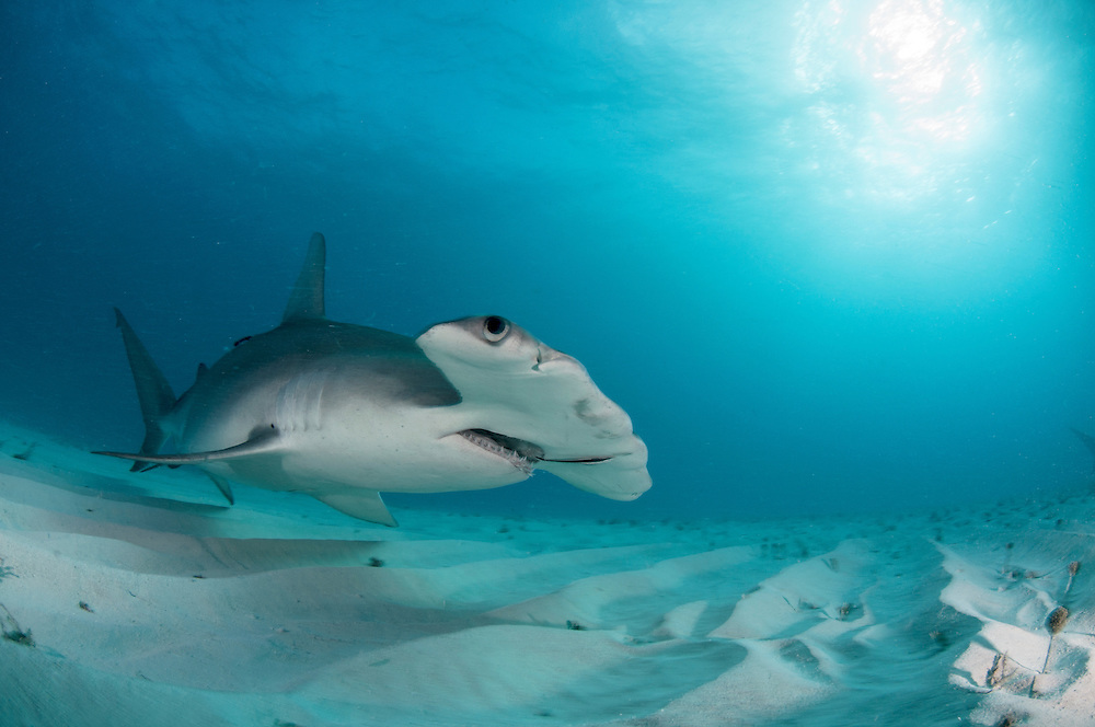 Great Hammerhead Shark image made in the Bahamas shark sanctuary.