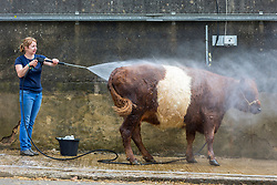 © Licensed to London News Pictures. 09/07/2018. Harrogate UK. Judith Cowie getting her red belted galloway ready for the 160th Great Yorkshire Show which starts tomorrow in Harrogate.  Photo credit: Andrew McCaren/LNP