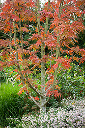 Sorbus commixta Olympic Flame with Symphyotrichum ericoides 'Rosy Veil' growing at its base