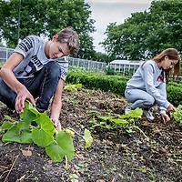 Nederland, Amsterdam, 21 juni 2016.<br /> Clusius College in Noord krijgt een prijs  voor de beste gezonde schoolkantine. Ze halen eten uit hun tuin en serveren dat daar. <br /> Op de foto: Leerlingen verwijderen onkruid bij de pompoenen in de tuin.<br /> <br /> <br /> <br /> Foto: Jean-Pierre Jans