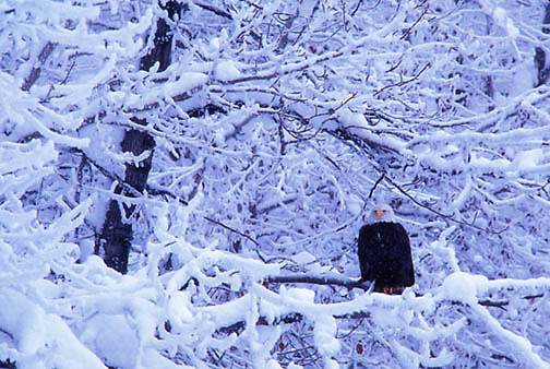 Bald Eagle, (Haliaeetus leucocephalus) Adult perched in snowy tree branches. Winter. Alaska.