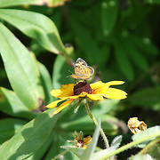 A butterfly enjoying a sunny day on a black eyed susan in the peace garden at Kripalu, Stockbridge, MA