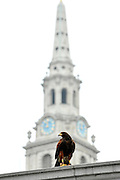 © Licensed to London News Pictures. 13/03/2012. London, UK. Lizzie sits in the shadow of the clock tower of St Martin in the Fields. Wayne Parsons flies Lizzie, aged 3, the American Harris Hawk in London's Trafalgar Square today. Wayne and Lizzie are employed by the Greater London Authority to control the pigeon population in the famous square. Lizzie was reared from birth by Wayne but not 'imprinted', meaning she retains her natural ability to hunt. Lizzie only catches 5 or 6 pigeons a year as the very site of her scares them away.  Photo credit : Stephen SImpson/LNP
