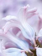 Hyacinthus orientalis 'Top Hit'