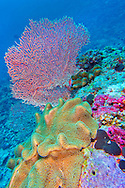 Alberto Carrera, Elephant Ear Coral, Green Toadstool Coral, Leather Coral, Soft Coral, Gorgonian, Sea Fan, Sea Whips, Coral Reef, North Ari Atoll, Maldives, Indian Ocean, Asia