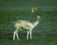 Fallow Deer Dama dama Shoulder height 80-100cm Medium-sized deer. Mainly nocturnal. Lives in separate sex herds for much of year. Adult is reddish brown with whitish spots in summer. Usually dark grey-brown in winter but some are black or creamy white. All have whitish rump with dark margin and blackish tail with white margin. Male (buck) grows broad, palmate antlers in spring and early summer; shed by late winter. Antler size and complexity increases with age. Female (doe) does not antlers. Fawn is reddish brown with whitish spots. Female has barking alarm call; male utters belching groan in autumn rut. Introduced. Now widespread but local in woodland, farmland and scrub.
