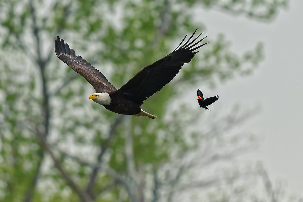 Red Wing Blackbird attack