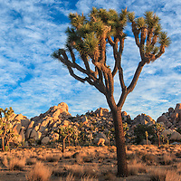 Large Joshua Tree is brightly side-lit at sunrise in the Joshua Tree National Park, near 29 Palms, CA.