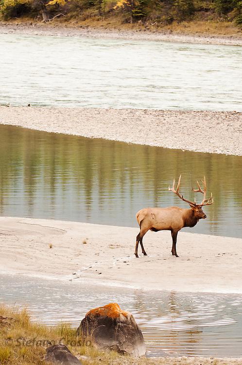 CANADA, Jasper National Park.Elk (Cervus elaphus)