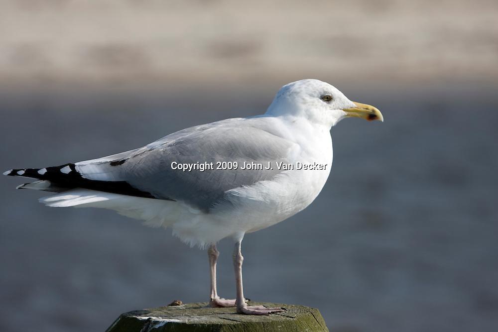 Herring Gull standing