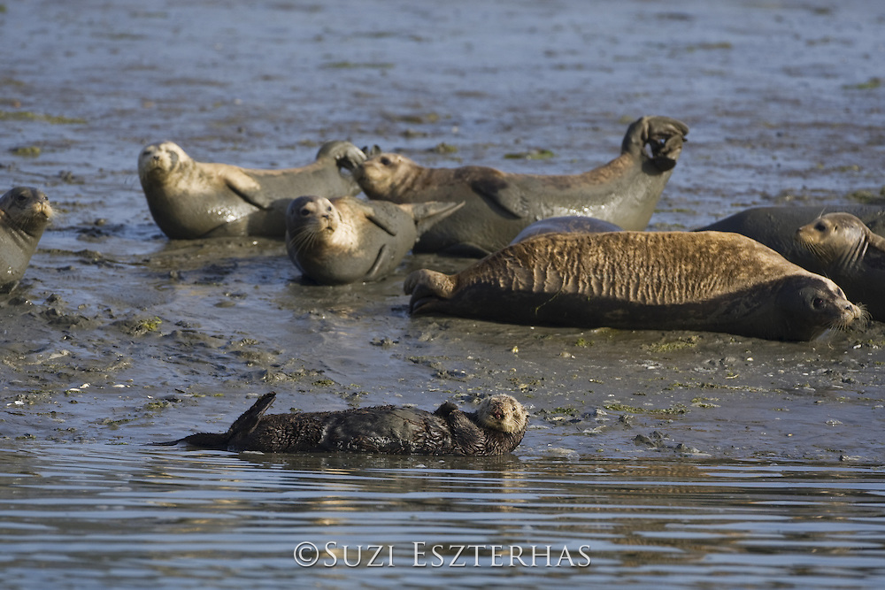 Southern Sea Otter<br /> Enhydra lutris<br /> Female hauled out with harbor seals (possibly to hide from breeding males)<br /> Monterey Bay,  CA, USA