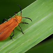 Lycidae (net-winged beetle)