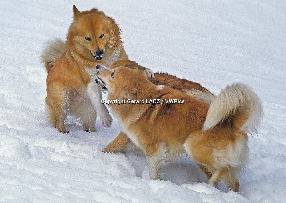 Iceland Dog or Icelandic Sheepdog, Adults playing on Snow
