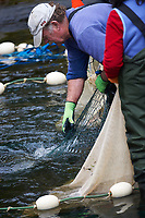 Hatchery workers netting Salmon to collect eggs and sperm for the fish hatchery at    Thornton Fish Hatchery