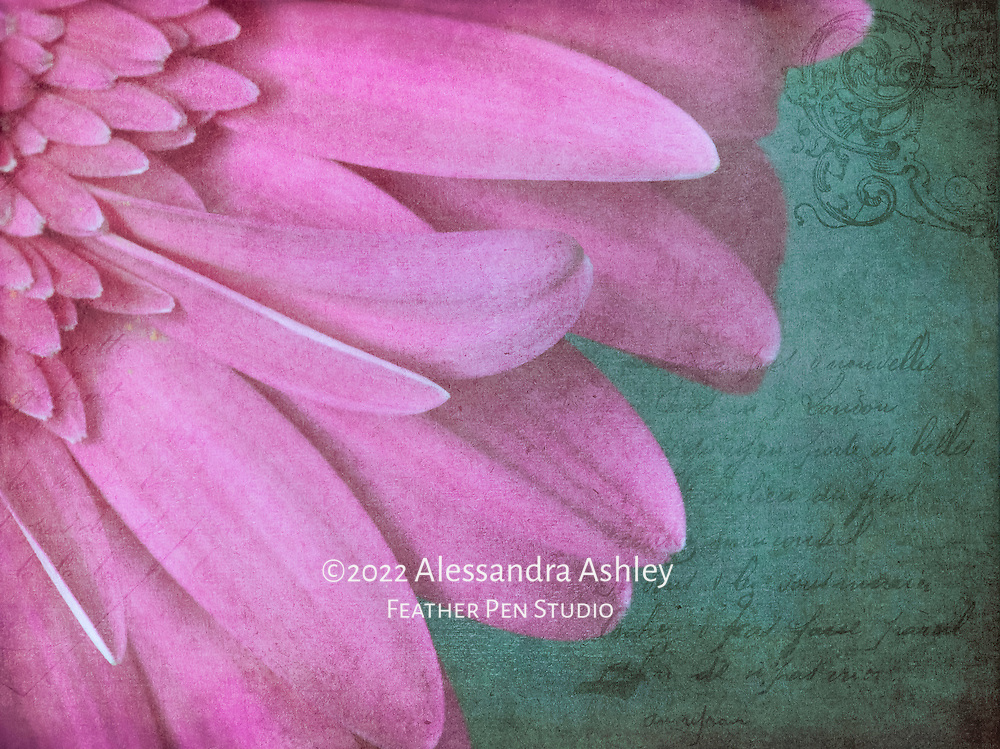 Overlapping petals of bright pink gerbera daisy composited with vintage art paper and French script.