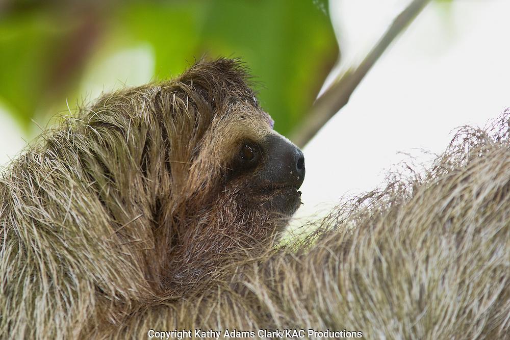 three-toed sloth, bradypus variegatus, in a tree in Southern Costa Rica, Osa Peninsula,