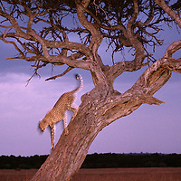 Africa, Kenya, Masai Mara Game Reserve, Young adult male Cheetah (Acinonyx jubatas) climbing down tree at dusk