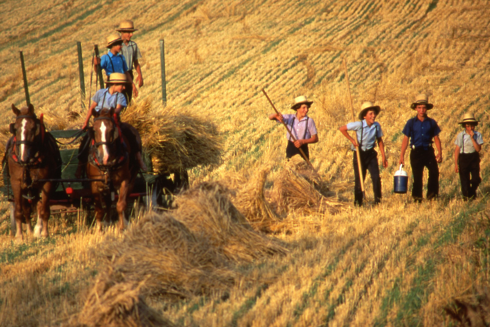 Amish boys harvest wheat, Lancaster County, Pennsylvania.