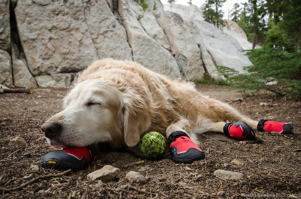 A dog (golden retriever) wearing dog booties rests with a tennis ball after hiking, Eldorado National Forest, California