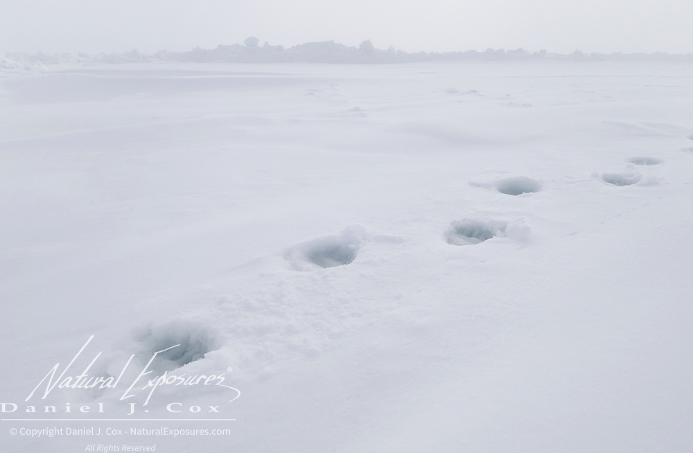 Polar Bear (Ursus maritimus) tracks on the ice of the Beaufort Sea in Alaska.