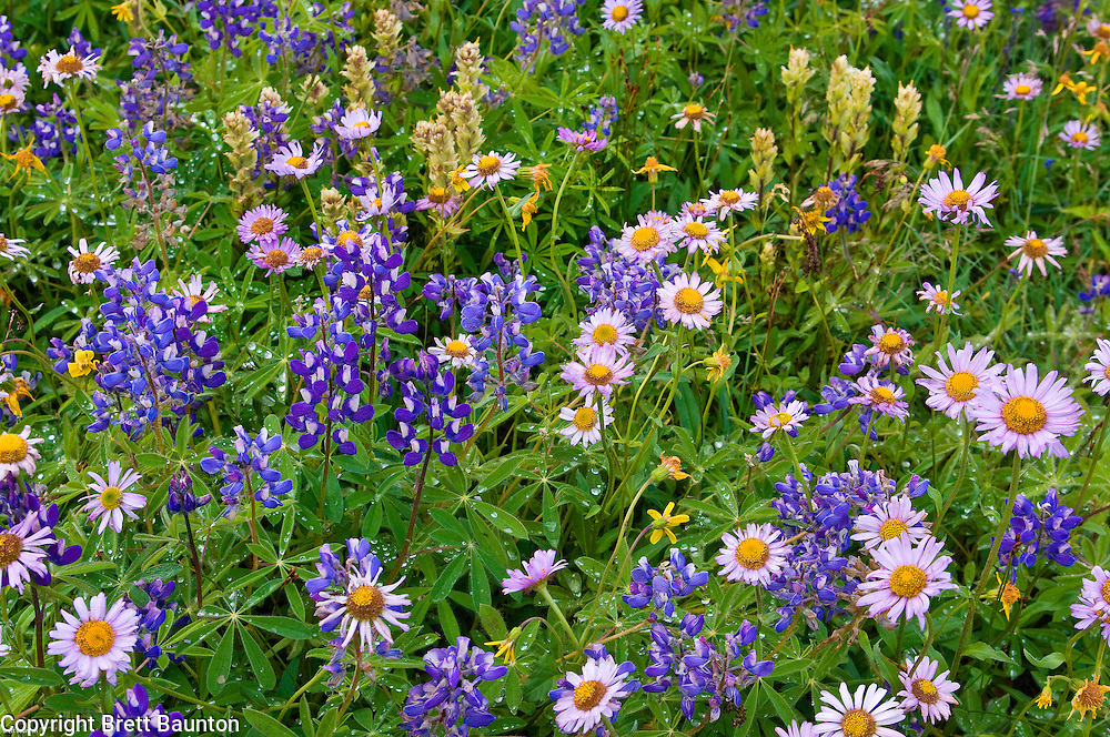 Mt. Baker Wilderness Area; Wildflowers, Lupine, Alpine Daisey, Arnica, Paintbrush, Pacific NW; Ptarmigan Ridge; Washington State; Meadow