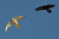 Gyrfalcon, Falco rusticolus, and Raven, Corvus corax, Hornøya Island, Varanger Peninsula, Norway, Scandinavia