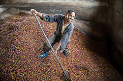Berhanu Haile loads coffee into a special washing station where the pulp is removed at the Tepi plantation in Kaffe, Ethiopia.