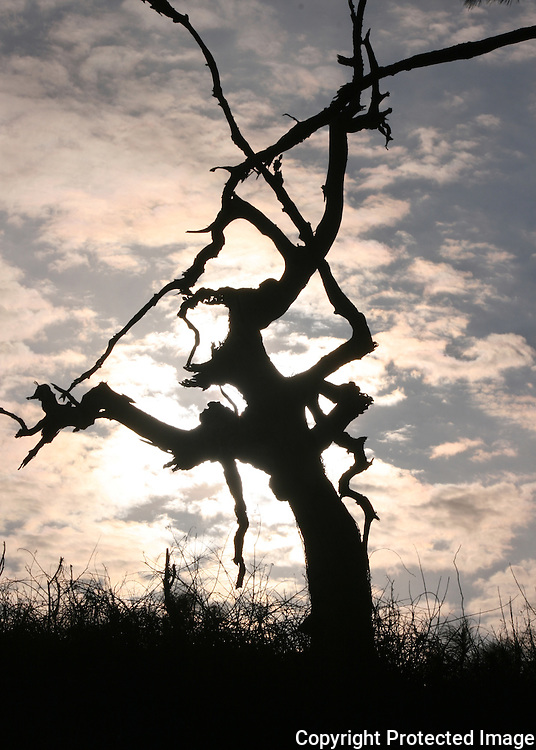 Dead Jekyll Island beach tree silhouette