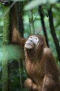 Sumatran Orangutan<br /> Pongo abelii<br /> Young female <br /> North Sumatra, Indonesia<br /> *Critically Endangered