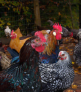 Chickens, Coops and Assorted Poultry