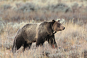 Grizzly Bear wearing telemetry collar in Autumn Habitat