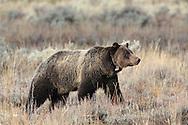 Grizzly Bear wearing telemetry collar in Autumn Habitat