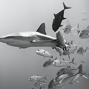 A group of bigeye trevally (Caranx sexfasciatus) swimming around a grey reef shark (Carcharhinus amblyrynchos), with one of the fish rubbing its body against the shark's skin. Bigeye trevallies and other species of fish engage in this activity from time to time, perhaps to remove parasites or other irritations from their skin. For the most part, the sharks do not seem to mind, though they sometimes take off at high speed. Note also that one of the bigeye trevallies is dark. The change in coloration is associated with reproduction. Photographed at Blue Corner in Palau.
