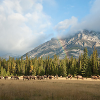 elk herd in meadow mountain background with rainbow