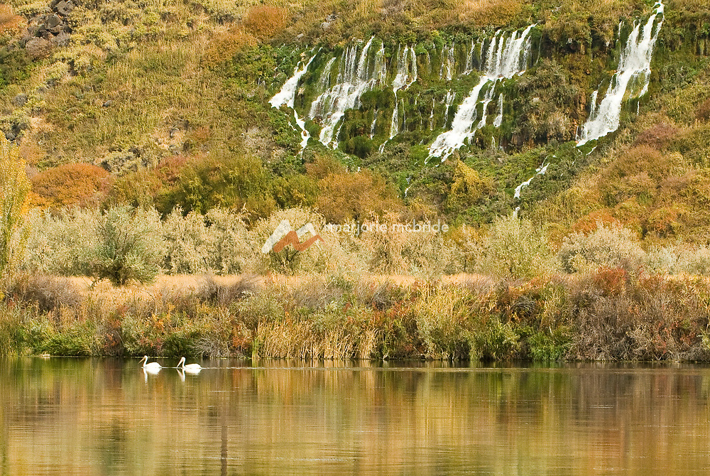 Springs cascade into the Snake River with swans drifting by in Hagerman, Idaho.