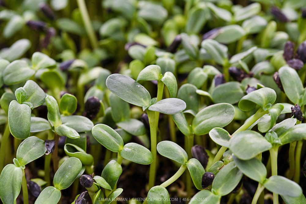 Edible sunflower sprouts ready for harvest.