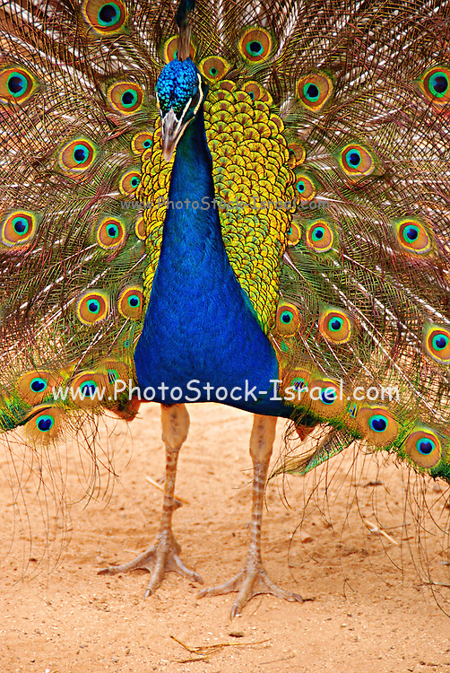 Male peacock displaying his tail feathers during courtship