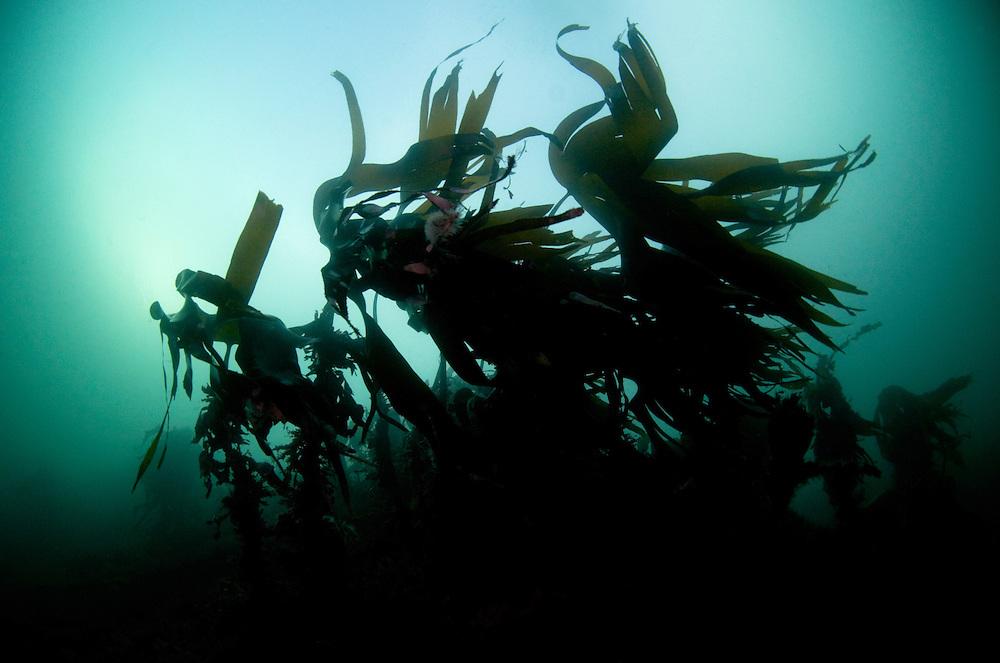 Kelp, Laminaria hyperborea,.Atlantic marine life, Saltstraumen, Bodö, Norway.Model release by photographer