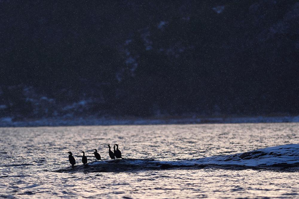 Shag cormorants, Phalacrocorax aristotelis, Flatanger, Nord-Tröndelag, Norway