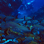 School of fish near divers..Cozumel, Quintana Roo..Mexico.