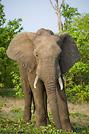 An African elephant in the wild, Kruger National Park, South Africa.
