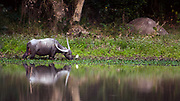 Scenic nature with an Indian wild Water buffalo (bulbalus arnee) on the edge of a lake in the Burapahar park zone of Kaziranga NP, Assam, India.