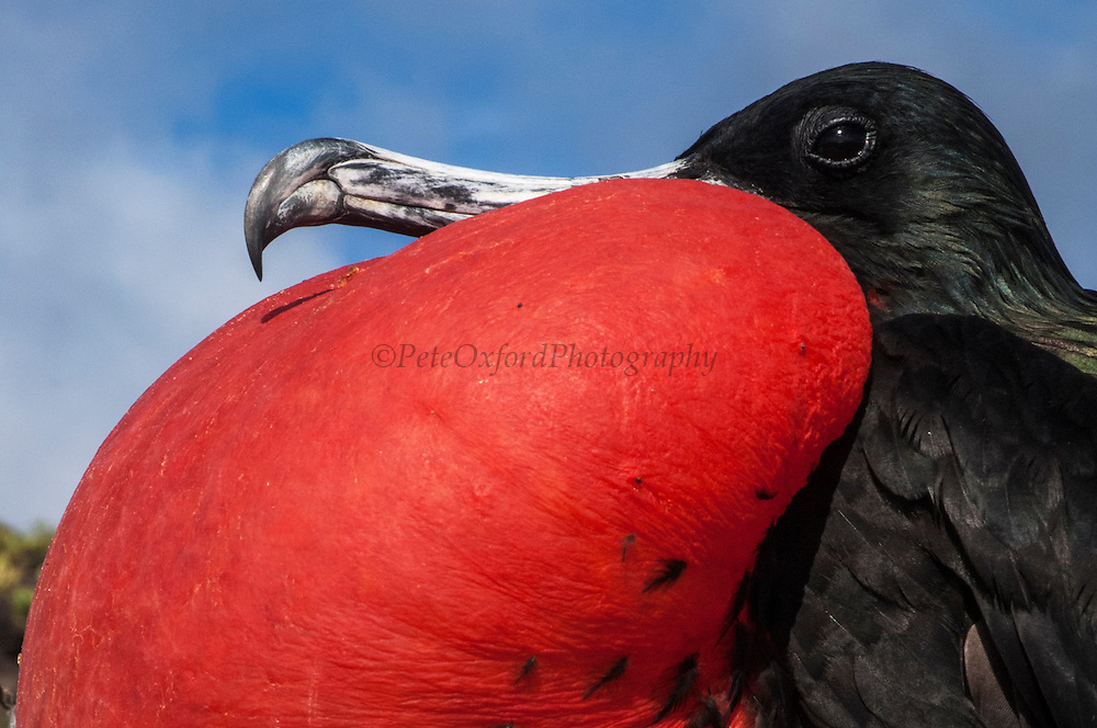 Great frigatebird (Fregata minor) - male with inflated pouch<br /> Punta Cevallos, Espa&ntilde;ola or Hood Island<br /> GALAPAGOS ISLANDS  ECUADOR South America<br /> RANGE: They breed in the w, e and central Pacific and Revillagigedo, Cocos and Galapagos Islands. Also on Trindade Island, Martin Vaz Island and range to Brazil. In the w Indian Ocean on Aldabra and adjacent islands as well as Christmas Island. In the S. China Sea on Paracel Island.<br /> This is one of 2 species found in Galapagos. They have the largest wingspan-to-bodyweight ratio of any bird making them highly manoeuvrable and acrobatic. These seabirds range long distances to feed, scooping fish off the surface as they can not land at sea.