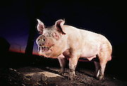 Pigs/Swine/Hog: A huge breeding boar named Shank at the Dee Brothers hog farm, State Center, Iowa. This 800 lb. breeding boar named Shank had rarely been outside of his breeding barn before this photograph. The only other time the hog had been outdoors was to have his picture taken with then President Ronald Reagan. USA.