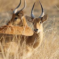 Two male puku antelope in grassland. South Luangwa National Park, Zambia.