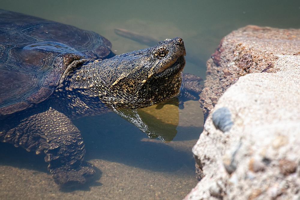 Snapping Turtle, Twin Lakes Open Space, Gunbarrel, Colorado